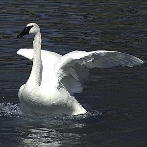 Trumpeter Swan on Lake Bemidji