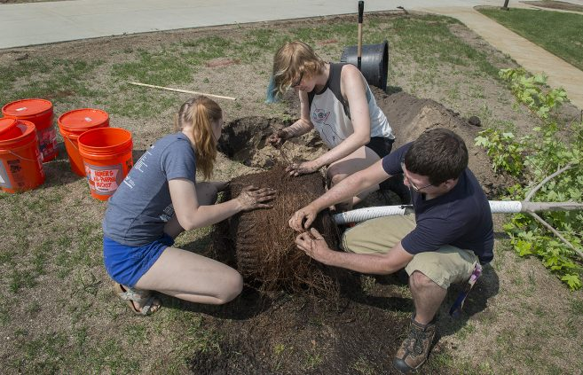 Anna Haynes, Skye Iwanski and Jacob Haley working the roots on an Autumn blaze.