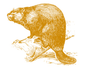 Golden Beaver illustration