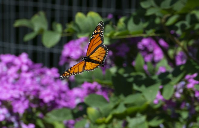 A monarch butterfly in BSU's Gitigaan Garden