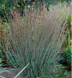 Little Bluestem (Schizachyrium scoparium)